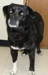 Shadow has been adopted! Shadow is an adoptable Labrador Retriever Dog in Washington Court House, OH. Shadow is an owner surrender. They advised they could not keep him home and he needed a fenced yard. He is 3 1/2 years old ...