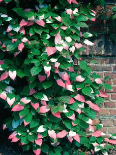 Actinidia Grown for Colorful Heart Shaped Foliage