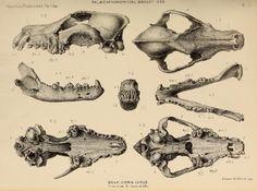 wolf skull - Pesquisa Google