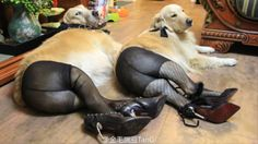 dog-wearing-pantyhose
