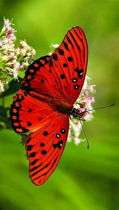 Types of Butterflies - Butterflies are one of the most adored insects for their enchanted beauty and representation of good luck and positive change. Butterfly Pictures, Butterfly Painting, Butterfly Wallpaper, Butterfly Flowers, Butterfly Wings, Butterfly Watercolor, Butterfly Kisses, Types Of Butterflies, Flying Flowers