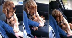 Cão Precisa Que o Dono Lhe Segure a Pata Durante a Viagem De Carro