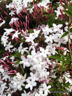 What Heaven would smell like: Pink Jasmine (or Jasminum polyanthum) I have this fragrant, flowering vine strategic throughout my garden. Pink Jasmine, Jasmine Vine, Gardenias, Easy Care Plants, Plant Care, Garden Spells, Drought Tolerant Plants, Flowering Vines, Flower Images