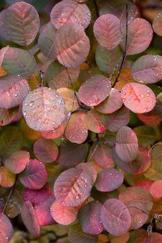 Multi colored autumn leaves of Smoke Tree (Cotinus coggygria) November, Washington