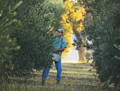 Texas Olive Oil:Pressed for Success Oil News, Olive Oil, Texas, Success, Angel, Star, Stars, Texas Travel, Angels