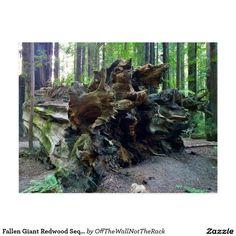 Fallen Giant Redwood Sequoia Tree Postcard