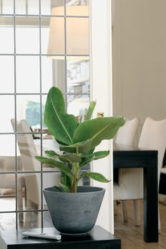 7 Types of Fruit Trees You Can Grow in Your Living Room – Bananas Banana Plant Indoor, Banana Plant Care, Grow Banana Tree, Banana Plants, Fruit Trees, Trees To Plant, Musa Banana, How To Grow Bananas, Types Of Fruit