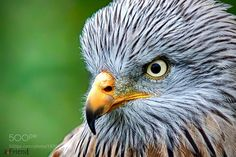 red kite ... by aFriend #animals #animal #pet #pets #animales #animallovers #photooftheday #amazing #picoftheday