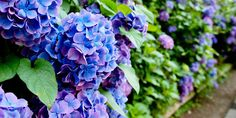 Love the pretty blue and purple shade of these hydrangeas!