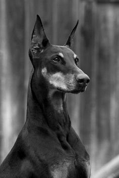 This amazing little Doberman Pinscher Breed Cuddle Ring is available in a tiny size 5 up to a size 9 . This Doberman Pinscher Breed Wrap Ring can be ordered in Bronze, Silver, and Gold. Doberman Noir, Black Doberman, Doberman Pinscher Puppy, Doberman Puppies, Pet Dogs, Dogs And Puppies, Beautiful Dogs, Funny Dogs, Dog Breeds