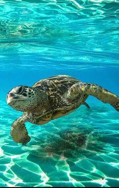 Turtle discovered by Aaliyah Kinniburgh on We Heart It Beautiful Sea Creatures, Animals Beautiful, Cute Animals, Ocean Turtle, Turtle Love, Underwater Creatures, Ocean Creatures, Sea Turtle Wallpaper, Cute Baby Turtles