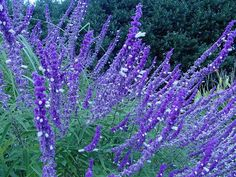 Salvia- Mexican Bush Sage. Grow it in beds with trailing lantana