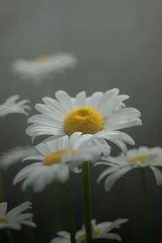 Daisy Dreams in Grey
