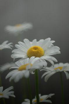 Daisy Dreams in Grey