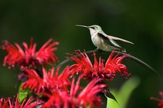 Hummingbird On Flowers Print by Christina Rollo.  All prints are professionally…