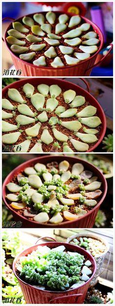 Para montar um lindo vasinho de plantas suculentas basta colocar as pétalas sobre a terra fértil, mas sem enterrá-las. Disponha as folhas organizadas para ter um efeito incrível quando elas começarem a brotar.