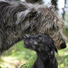 Irish Wolfhound mom and puppy Irish Wolfhound Puppies, Irish Wolfhounds, Asian Dogs, Cute Dog Collars, Scottish Deerhound, Best Dog Breeds, Dog Grooming, Belle Photo, Dogs And Puppies