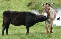 """""""I Caught the Calf Standing and Licking the Donkey. The Donkey never knew what to think   of being smooched by a calf. Might not have had an itch right there for the calf's rough   tongue.""""     Courtesy: Robin Tucker, Spickard, MO (USA)."""