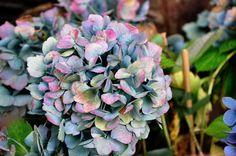 Beautiful Hydrangea macrophylla 'Ursula' autumn colours -Copyright Dirk Staels  -  Dirk Staels - Google+