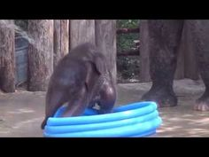 ▶ Fort Worth Zoo's Baby Elephant Plays in Pool - YouTube