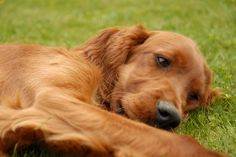 Kyra. Irish Setter puppy