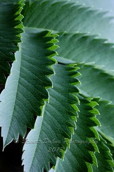 LEAVES with ridges
