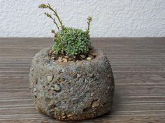 Kusamono/Accentplant