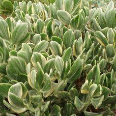 1000 images about fascinating soft succulents on pinterest crests crassula ovata and succulents. Black Bedroom Furniture Sets. Home Design Ideas