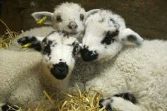 A trio of lambs! (look at the black spots on their faces. it looks like they've been in the coal bucket) Farm Animals, Cute Animals, Baa Baa Black Sheep, Baby Lamb, Sheep And Lamb, Counting Sheep, Mundo Animal, Cows, Animals Beautiful