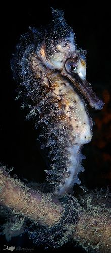 Sea horse | Flickr - Photo Sharing!