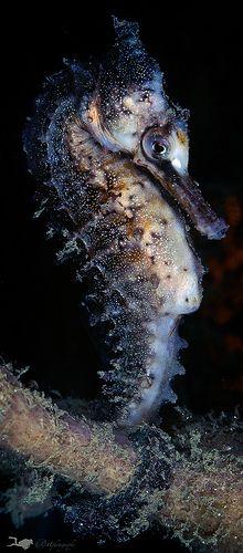 Sea horse | Flickr - Photo Sharing!