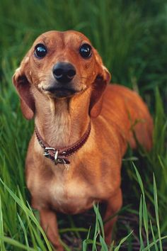Stop Animal Abuse shop at http://www.joli-boutique.com we donate a dollar with each transaction made to ASPCA #Dachshund #Dogs #Puppy