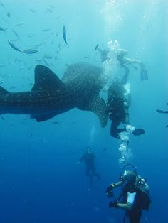 Mr. & Mrs. O Go Whale Shark Diving