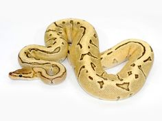 42 Best Ball Python Morphs Images Ball Python Morphs Snakes Noodle