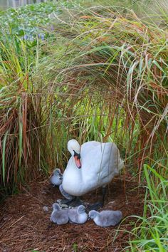 Swan with her cygnets (babies). Beautiful Swan, Beautiful Birds, Animals Beautiful, Animals And Pets, Baby Animals, Cute Animals, All Birds, Love Birds, Tier Fotos