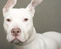 Beautiful white pit bull... EARS!! ♥♥