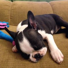 Here's a sweet sleepy time #throwbackthursday photo. Sweet dreams Furiends. #lilybeark #bostonterrier #bostie #bostonterrier_feature #bostonterriersforever #sleepypuppy by lilybeark