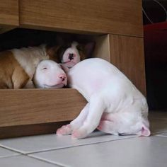 Hahahaha, it took me a wee while to actually figure out what was happening in this photo! I just adore bull terriers, awww!