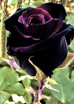 Black Magic Purple and Black Rose Bush Flower 12 PCS Seeds Fragrant Black Rose Flower, Beautiful Rose Flowers, Unusual Flowers, Rare Flowers, Black Flowers, Amazing Flowers, Black Roses, Black Magic Roses, Red Roses