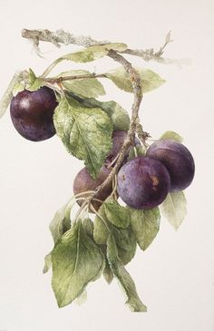 Botanical Paintings by Elaine Searle:
