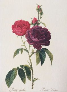 redoute-fleurs-roses