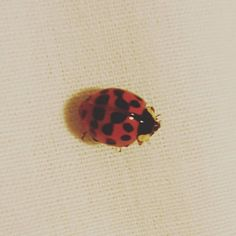 Many people believe that ladybugs bring good luck... I had one visiting me in my bedroom today #ladybug #insect #macro #noisydeadlines