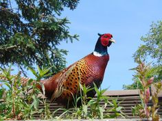 The Rumblie Guest House, Highland. Pheasant in the garden