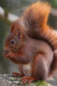 Eurasian Red Squirrel eating - France,