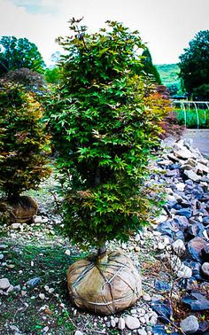 Twomblys Red Sentinel Japanese Maple Landscaping Trees, Fast Growing Trees, Garden Soil, Gardening, Acer Palmatum, Leaf Coloring, Maple Tree, Fall Plants, Japanese Maple