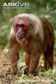 Beermakaak - Stump-tailed macaque (Macaca arctoides)   (love the make up artists)