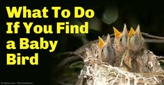 Find out what to do and what not to do when you find a baby bird, either a fledgling or a nestling, lying on the ground after falling out of a bird nest. http://healthypets.mercola.com/sites/healthypets/archive/2011/05/24/when-rescuing-a-baby-bird-is-not-the-compassionate-thing-to-do.aspx