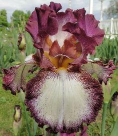 Lady Jean Reblooming Iris