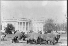 When Woodrow Wilson was President, the First Lady had sheep graze on the White House lawn to keep it neat and well trimmed.