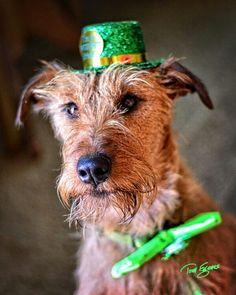Happy St Patrick's Day Irish Terrier puppy dogs Terrier Mix, Terriers, Scottish Deerhound, Irish Terrier, Dogs And Puppies, Big Dogs, Irish Wolfhound, Irish Setter, Happy St Patricks Day